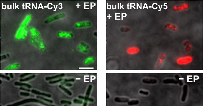 In vivo single-RNA tracking shows that most tRNA diffuses freely in live bacteria