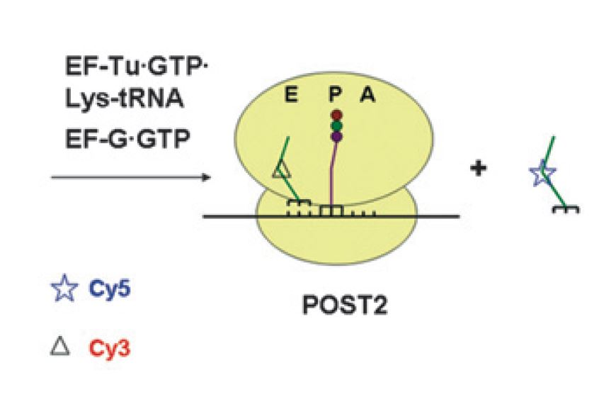 Synthesis and functional activity of tRNAs labeled with fluorescent hydrazides in the D-loop